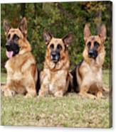 German Shepherds - Family Portrait Canvas Print