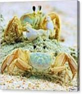 Ghost Crabs Canvas Print