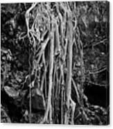 Ghostly Roots - Bw Canvas Print