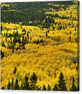 Giant Aspen Glen 2 Canvas Print
