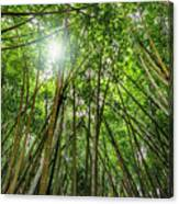 Giant Bamboo In Forest With Sunflare Canvas Print