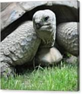 Giant Land Turtle Canvas Print