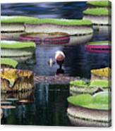 Giant Lily Pads Canvas Print