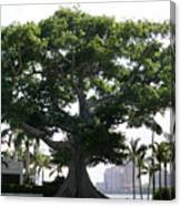 Giant Morton Fig Tree Canvas Print