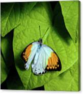 Giant Orange Tip Butterfly Canvas Print