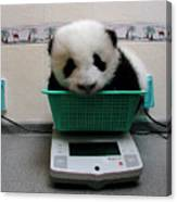 Giant Panda Ailuropoda Melanoleuca Baby Canvas Print