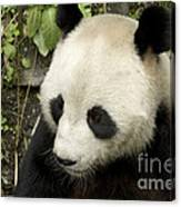 Giant Panda At Rest Canvas Print