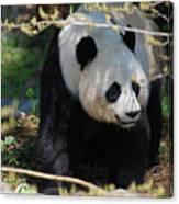 Giant Panda Bear Creeping Under A Tree Branch Canvas Print