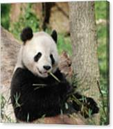 Giant Panda Bear Lounging On Against Tree Trunk Canvas Print