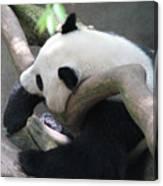 Giant Panda Bear Resting On A Fallen Tree Canvas Print