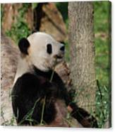 Giant Panda Bear Sitting Up Leaning Against A Tree Canvas Print