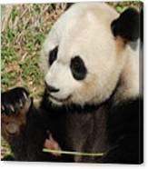 Giant Panda Feeding Himself Shoots Of Bamboo  Canvas Print