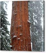 Giant Sequoia Tree Canvas Print