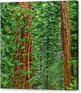 Giant Sequoias Sequoiadendron Gigantium Yosemite Np Ca Canvas Print