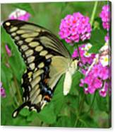 Giant Swallowtail Butterfly  IIi Canvas Print