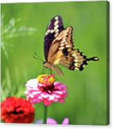 Giant Swallowtail Butterfly On Pink Zinnia Canvas Print