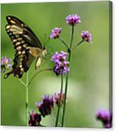 Giant Swallowtail Butterfly On Verbena Canvas Print