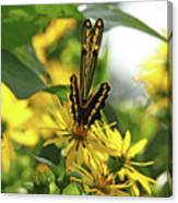 Giant Swallowtail Wings Folded Canvas Print