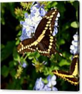 Giant Swallowtails Canvas Print