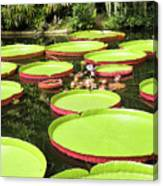 Giant Water Lily Platters Canvas Print