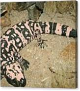 Gila Monster Canvas Print