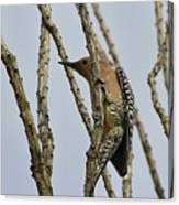 Gila Woodpecker Canvas Print