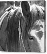 Gillagan The Horse In Glacier National Park   Canvas Print