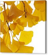 Ginkgo Ginkgo Biloba Leaves In Autumn Canvas Print
