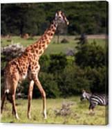 Giraffe And Zebras Canvas Print