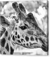 Giraffe Bw Canvas Print
