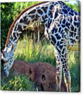 Giraffe Feasting Canvas Print