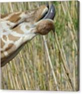 Giraffe Feeding 2 Canvas Print