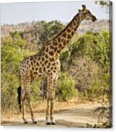 Giraffe Grazing Canvas Print
