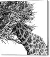 Giraffe Hide And Seek Canvas Print