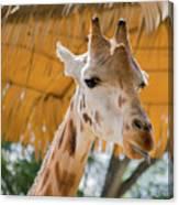 Giraffe In The Zoo. Canvas Print