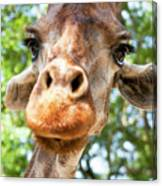 Giraffe Interest Canvas Print