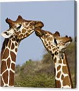 Giraffe Kisses Canvas Print