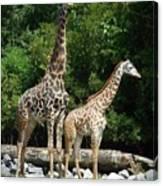 Giraffe, Male And Female Canvas Print
