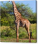 Giraffe On Savanna. Safari In Serengeti Canvas Print