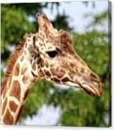 Giraffe Portrait Canvas Print