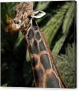 Giraffe Study 2 Canvas Print