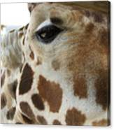 Giraffe Up Close Canvas Print