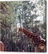 Giraffesgalore Canvas Print
