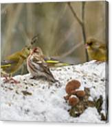 Give Me A Kiss. Redpolls And Greenfinches Canvas Print