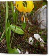 Glacier Lily 1 Canvas Print