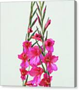 Gladioli Byzantinus In Love Canvas Print