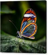 Glasswing Butterfly Iridescence  Canvas Print