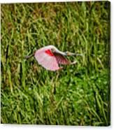 Gliding Spoonbill In Bayou Canvas Print