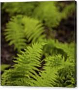 Glimmering Ferns Canvas Print