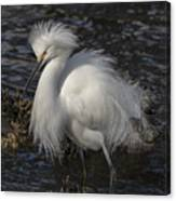 Glorious Egret Canvas Print